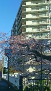 tonari_no_sakura_20150402-2