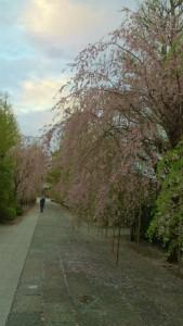 shidare_sakura_kichijoji_komagome_20150411